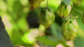 Closeup of ripe hop cones on the field, locked down real time video stock video footage