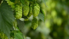 Closeup of ripe hop cones on the field stock video footage
