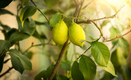Closeup of ripe lemons growing on tree at sunny day Royalty Free Stock Image