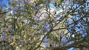 Closeup of Ripe Olives on the Tree with Leaves.  stock footage