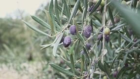 Closeup of Ripe Olives on the Tree with Leaves at Spain. Closeup of Ripe Olives on the Tree with Leaves stock footage