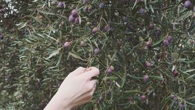 Closeup of Ripe Olives on the Tree with Leaves at Spain. Closeup of Ripe Olives on the Tree with Leaves stock video footage