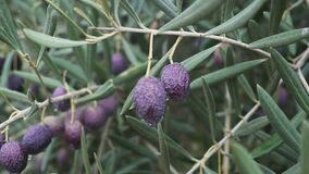 Closeup of Ripe Olives on the Tree with Leaves at Spain. Closeup of Ripe Olives on the Tree with Leaves stock video