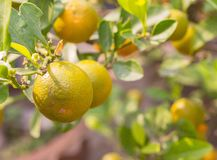 Closeup Ripe oranges on the tree in sunny day Stock Images