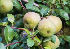Closeup of almost ripe pears royalty free stock image