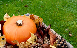 Closeup of ripe pumpkin with autumn leaves and fir cones Stock Images