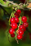 Closeup of ripe Redcurrant berries Royalty Free Stock Photography