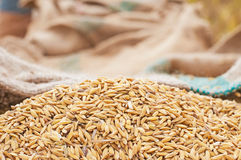 Closeup ripe rice Royalty Free Stock Image