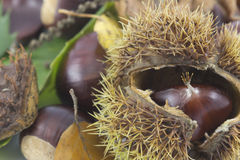 A closeup of  ripe sweet chestnut. A closeup of  ripe sweet chestnut in a shell surrounded  by leaves and chestnuts Royalty Free Stock Image