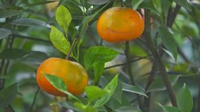 Closeup Ripe Tangerines on Branches Wind Shakes Leaves. Closeup two large orange ripe tangerines on branches wind shakes leaves Vietnamese New Year celebrated in stock video