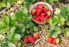 Ripe and unripe strawberries on strawberry plant with bowl of picked berries Stock Photography