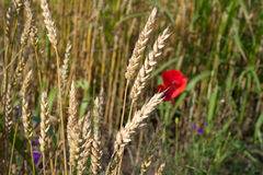 Closeup of ripe wheat Royalty Free Stock Photography