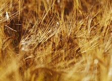 Closeup of ripe wheat Royalty Free Stock Images