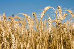 Closeup of Ripe wheat ears on field Royalty Free Stock Photo