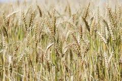 Closeup of ripe wheat stalks Royalty Free Stock Photos