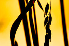 Closeup of ripe wheat in sunset Royalty Free Stock Images