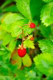 Closeup of a ripe wild strawberry berries Stock Image