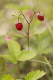 Closeup of ripe wild strawberry hanging on stem in a meadow Royalty Free Stock Photography
