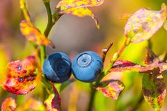 Ripen blueberry bush with berries Royalty Free Stock Image