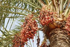 Closeup of ripen dates clusters Royalty Free Stock Image
