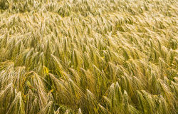 Closeup of ripening barley Stock Photos