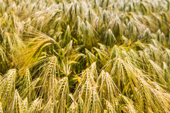 Closeup of ripening barley Stock Images