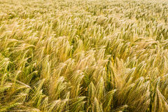 Closeup of ripening barley. Gold colored bent culms of barley ripening in a Dutch field at the beginning of the summer Stock Images