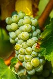 Ripening grapes on the vine Royalty Free Stock Photo