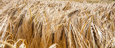 Closeup of ripening yellow barley field for banner background Stock Photo