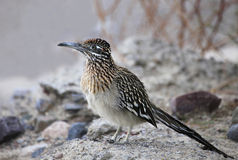 Closeup of a Roadrunner in the Underbrush Stock Photos