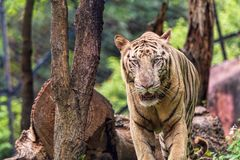 Closeup of a roaring White Tiger with a green flora background Stock Photos