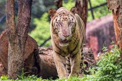 Closeup of a roaring White Tiger with a green flora background Stock Images
