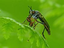 Robber Fly Eating An Emerald Bee Stock Photography