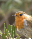 Closeup of robin (erithacus rubecula) Stock Photos