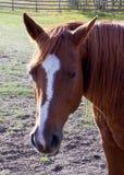 Canadian Rodeo Barrel Racing Horse. Closeup of Rodeo barrel racing horse on Canadian farm stock image