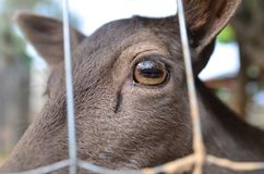 Closeup of a roe deer, big eye
