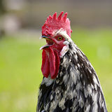 Closeup rooster crowing Stock Photos
