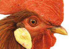 Closeup of rooster eye Royalty Free Stock Image
