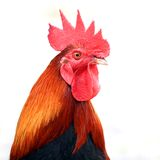 Closeup of rooster on white background Stock Image