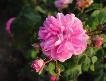 Closeup rosa Provence eller rosa kål eller Rose de Mai Centifolia i den organiska trädgården med suddig lövverk natur och Royaltyfria Bilder