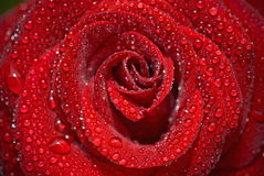 Closeup of the rose bud with water droplets Royalty Free Stock Image