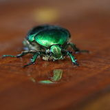 Closeup of a Rose chafer (Cetonia aurata) Royalty Free Stock Photos