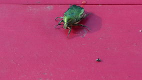 Closeup rose chafer green bug on red wooden table prepare to fly stock video footage
