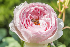 Closeup of rose flower with a bee. In a garden at a sunny day stock image