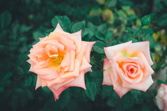 Closeup of rose. In the garden Stock Photography