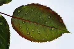 Closeup of rose leaf Stock Images