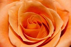Closeup of a Rose Royalty Free Stock Photo