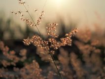 Closeup of rose natal grass with beautiful orange evening sunset.Selected focus royalty free stock photography