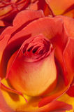 Closeup rose Stock Images