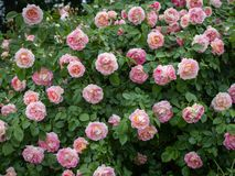 Closeup of a rose with many pink blossoms. Closeup of a rose in a park with many pink blossoms Royalty Free Stock Image